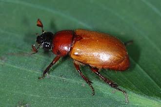 Photo: 17 Aspidolea singularis, Esquinas Rainforest