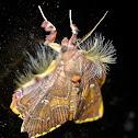 Walker's moth  Sosxetra grata