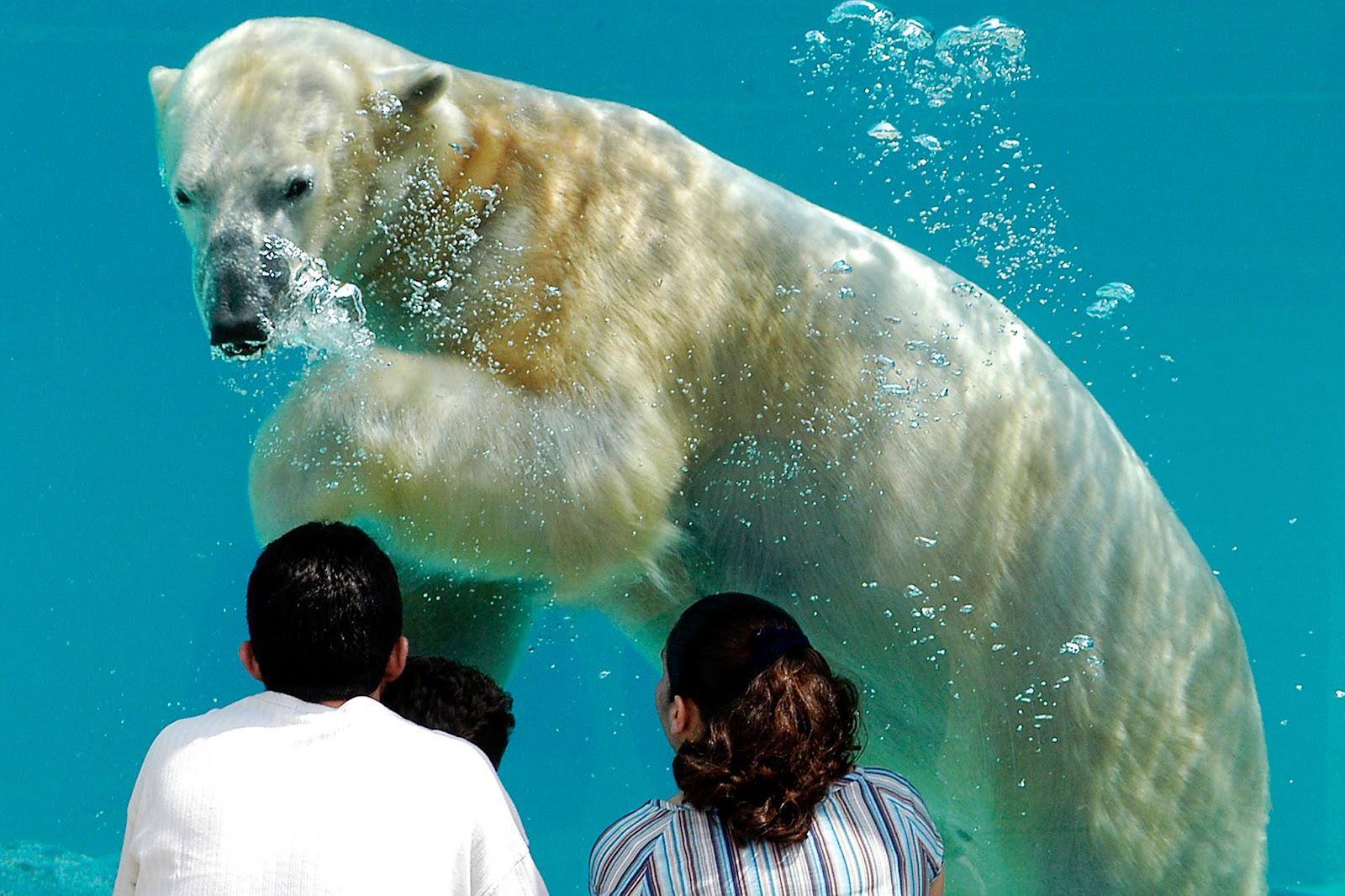 Brookfield Zoo polar bear