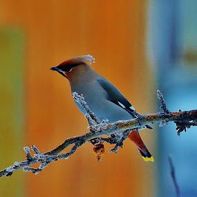 Cedar Waxwing by Laura Bentley - Animals Birds