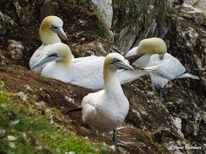 Photo: Gannets, Troup Head, Aberdeenshire