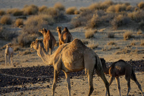 India. Rajasthan Thar Desert Camel Trek. Wild female camels and their young offsprings
