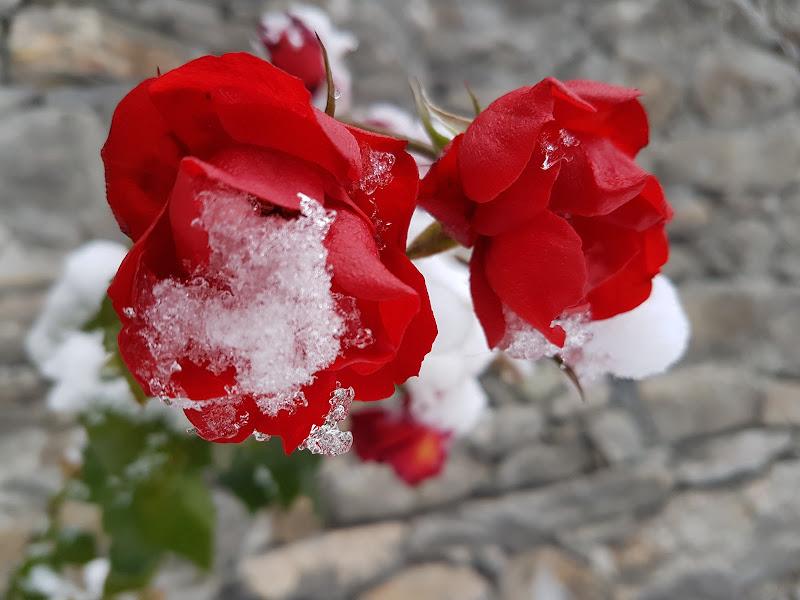 Le rose di gennaio di FLORANS