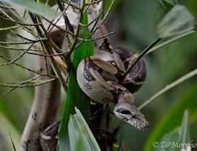 Photo: Boa Constrictor @ Bosque del CaboLodge, Osa Peninsula