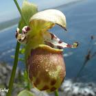 Alaskan Spotted Lady's Slipper Hybrid