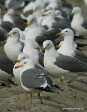 Photo: Collection of California Gulls; northern San Diego County coast