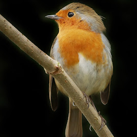 In Reflection by Joanne Calderbank  - Animals Birds ( robin, on branch, european, black back ground, beak, red breast, reflective eye )