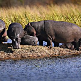 Hippo Family by Pieter J de Villiers - Animals Other Mammals