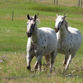 Horses running by Chris Bertenshaw - Animals Horses ( horses, horse, running,  )