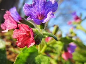 Photo: Purple and pink flowers at Wegerzyn Gardens MetroPark in Dayton, Ohio.