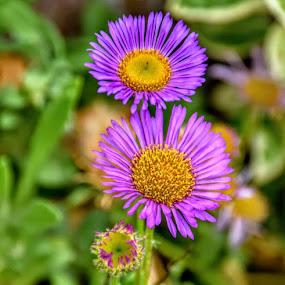 by Betty Taylor - Flowers Flower Gardens ( flowers, purple, garden flowes,  )
