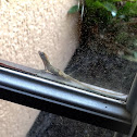 Brown Anole ( Reptile )