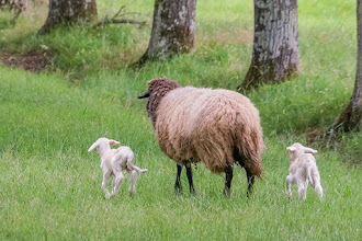 Photo: Ewe with her 2 lambs