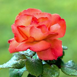 by Veli Toluay - Flowers Single Flower ( çiçek, yaz, natural, gül, güzellik )