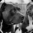 Pitbull Dog Live Wallpaper HD icon