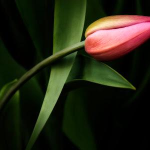resting-tulip-P2200823-MR.jpg