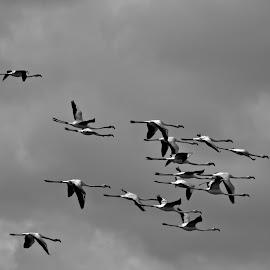 Flamingos Departure by Luis Pereira - Uncategorized All Uncategorized