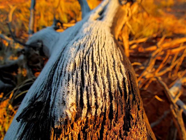 Frost on a dead tree