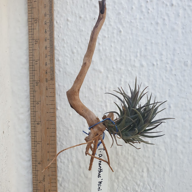 Tillandsia Aeranthos Mini Clump (Clump)