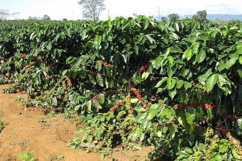 Bán vườn cà phê Bảo Lộc