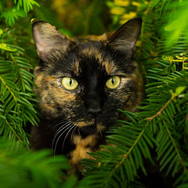 Ready to Pounce! by Casey Bebernes - Animals - Cats Portraits ( cat portrait, cat, cat eyes, animal )