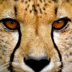 Cheetah eye2.jpg