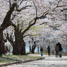 Spring by Dave Reece - City,  Street & Park  Vistas ( cherry, toronto, sakura, high park, spring, blossom )