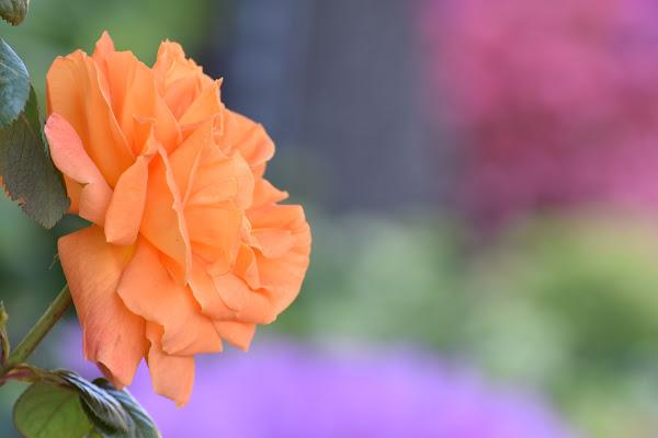 rosa arancione di s_ornella