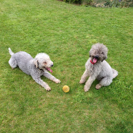 by Vicki Clemerson - Animals - Dogs Portraits ( play, ball, bedlington terriers, canine, dog,  )