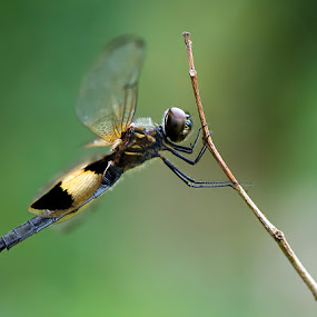 Dragon Fly by Yan Kebak - Animals Insects & Spiders