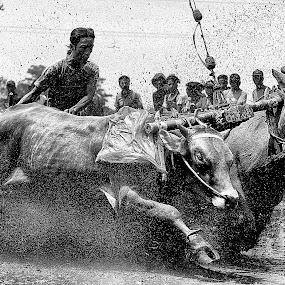 sapi brujul by Andrie Fery - Black & White Animals ( animaltransportation, animals, indonesia, indonesiancowboy, cow, bullrace,  )