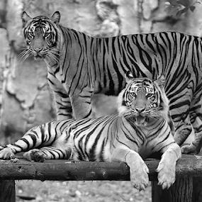 Just Waitin' by Yohanes Arief Dewanto - Black & White Animals ( wild, wilderness, black and white, wildlife, animal )