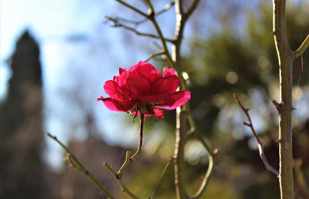 piccola rosellina con ragnatela di Lale92