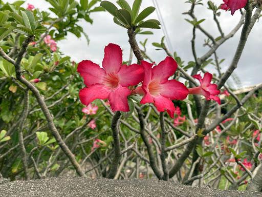 tropical-flowers.jpg - Tropical flowers from a bush along a walkway in Kailua-Kona, Hawaii.