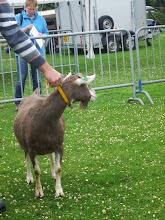 Photo: Klasse 5: 2 jarige toggenburger geiten.  Renske's Fabiola 'JH'