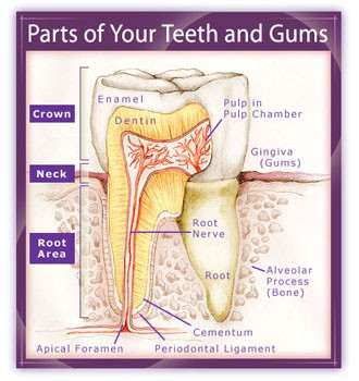 PartsTeeth- getting to know your teeth-2015-10-14.jpg