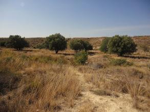 Photo: Paisatge: Garrofers i oliveres