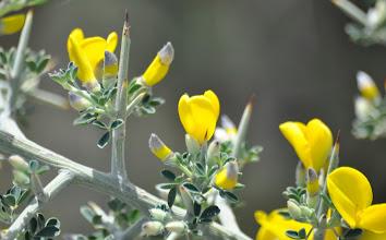 Photo: Calycotome villosa (Fabaceae), Hairy Thorny Broom