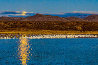 Photo: Snow geese and sandhill cranes huddled on pond awaiting sunrise as full moon sets