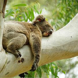 koala by Zdenka Rosecka - Animals Other Mammals