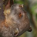 Eastern Tube-nosed Bat