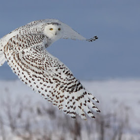 Snowy owl by Mircea Costina - Animals Birds ( bird, wild, canada, owl, wildlife, snowy, birds, white. )
