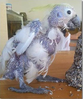 Two-year-old sulphur-crested cockatoo, rescued from the wild in Queensland, Australia.