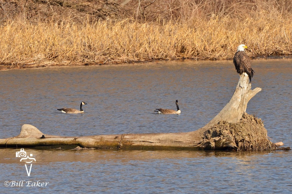 Bald Eagle and Canada Geese