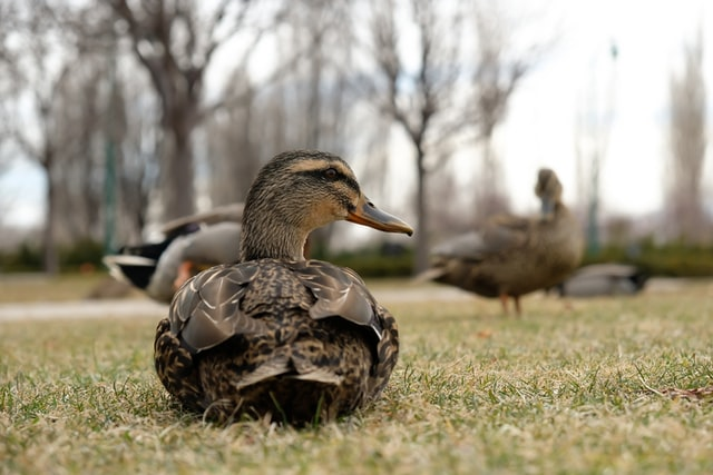 Adult duck sitting on lawn