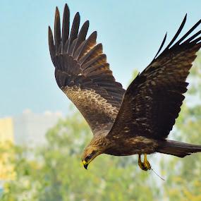 Kite flies by Shivaang Sharma - Novices Only Wildlife ( bird, urban, eagle, nature, avian, kite, wildlife, city )
