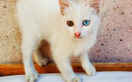В Гёреме много котов, особенно анкгорских. Неудивительно, ведь до Анкары всего 300 км