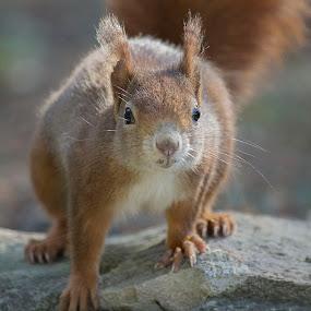 squirrel by Maya Cvetojevic - Animals Other ( squirrel,  )