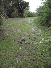 Photo: Much of Seminole Rest has been cleared.  This is a striking contrast to some of the other more 'natural' prehistoric sites in the area (like Castle Windy and Turtle Mound).