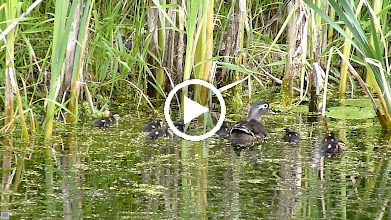 Video: Female Wood Duck and ducklings.Wood Ducks are very shy and it is not often one gets to see them with their ducklings like this.